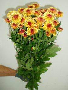 chrysantheme-lollypop-gelb-1