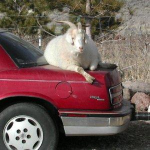 arrested-goat