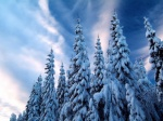 snow_covered_trees8