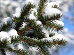spruce_snow_cover_winter_18267_1024x768