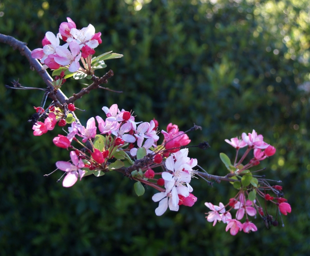 apple-blossom