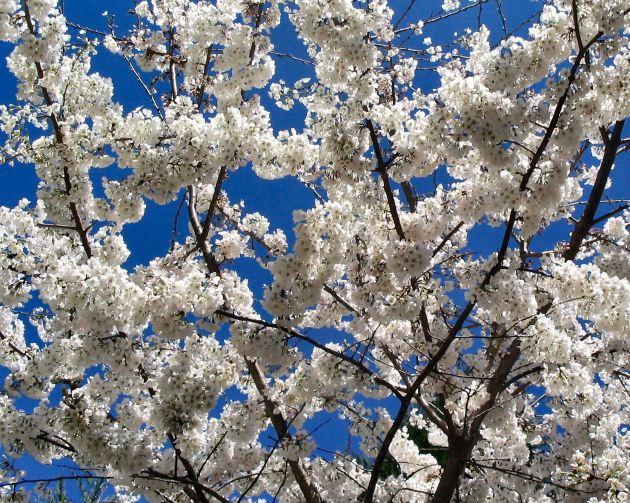 cherry-tree2