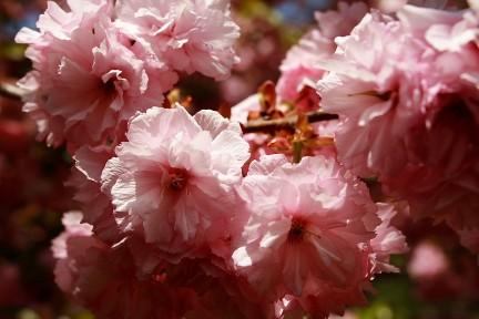 flowering-pink-tree-bloom-spring