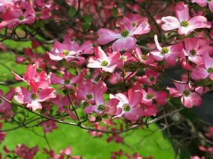 flowers-pink-dogwood1