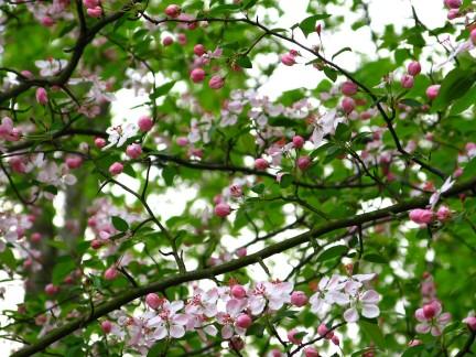 flowery-spring-tree