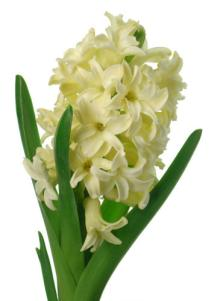 hyacinthus_orientalis1