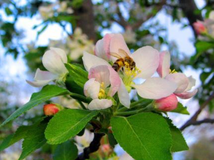 spring-apple
