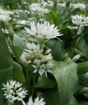 wild-garlic-at-sewerby-park-web