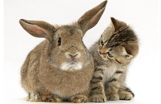 kitten-rabbit_1250036i