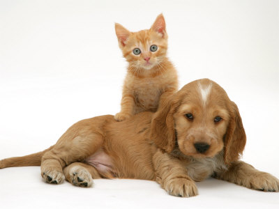 jane-burton-ginger-kitten-climbing-ontop-of-golden-cocker-spaniel-puppy