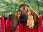 6743-1024x768-40-Winks-Bloodhound-Puppy