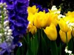 471769-1024x768-Tulips-159-POP50TFW8U-800x600