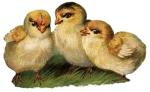 baby-chicks-3