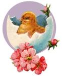 baby-chicks-4