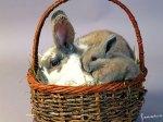 bunniesinabasket_1024