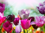 Colourful-tulips