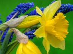 daffodils_and_hyacinth-normal