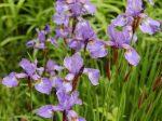 Flowering Irises