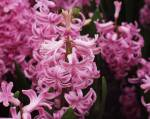 hyacinthus2