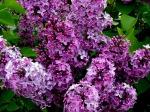 lilac-1024-768-6462