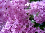 Lilac Flowers 3