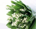Lilies_of_the_Valley_(Lily-of-the-Valley)