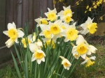 spring-daffodils-wallpapers_8386_1024x768