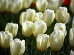 Tulips-109-VNCKNZF9Y9-1024x768