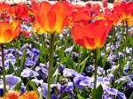 Tulips-178-YFZ8RRTG8B-1024x768