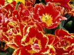 Tulips-187-6MB2LYRPYD-1024x768