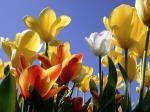 Tulips-189-IG9SH2Z6X2-1024x768