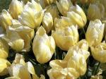 Tulips-210-8NEMC39SSY-1024x768
