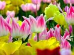 Tulips-221-6AJZAW7TJA-1024x768