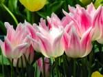 Tulips-237-IVXE997DZ8-1024x768