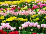 Tulips-238-K0N7U18SB4-1024x768