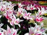 Tulips-239-YAI20WU41F-1024x768