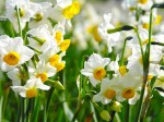 [wallcoo.com]_Narcissus_flower_wallpaper_015