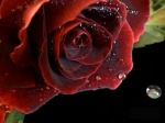 254328-9-red-rose-with-waterdrops