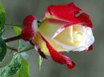 405161-1024x768-picture-red-rose-white