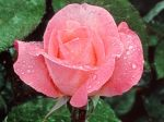 4555-1024x768-Lovely-Rose