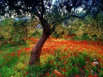 542835-1024x768-poppies-and-olive-tree