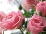 603862-1024x768-Pink-roses