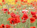 690284-1024x768-poppies-flowers-buds-petals-red-field