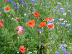 blue-red-orange-field-flowers