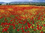 Endless Poppies, Spain