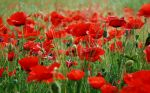 high-resolution-wallpapers-wild-poppy