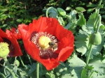 poppy-flowers-various-vivid-pink-red-purple-some-being-visited-pollinated-by-bumblebees-bees-in-bright-June-sunshine-in-Kingston-London-England-2-JR
