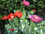 poppy-flowers-various-vivid-pink-red-purple-some-being-visited-pollinated-by-bumblebees-bees-in-bright-June-sunshine-in-Kingston-London-England-5-JR