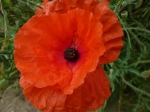 poppy-flowers-vivid-red-in-hedgerow-on-Blood-Hill-Norfolk-England-9-DHD