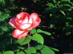 red-rose-10a